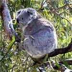 Koala Conservation Centre - Winery Find